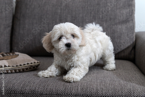 Fotografia, Obraz  Nanja, two and a half months old Bichon Bolognese puppy, playing on sofa