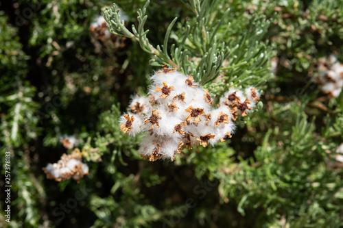 Photo Cape Snow Bush Fruits in Winter