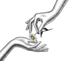 Female Hand Give A Chamomile F...