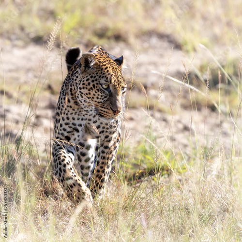 Poster Leopard Adult leopard walking through the long grass of the Masai Mara