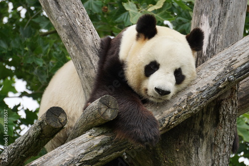 Stickers pour portes Panda giant panda resting on a tangle of branches