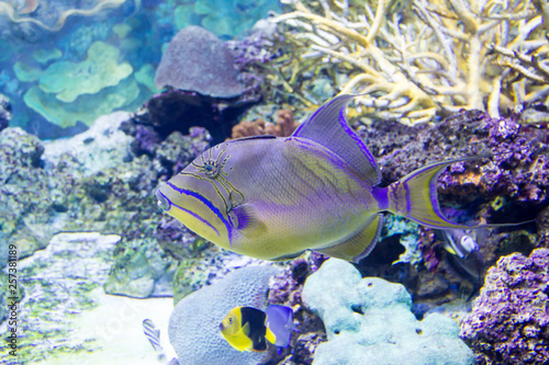 Poster Sous-marin Queen Triggerfish (Balistes vetula)