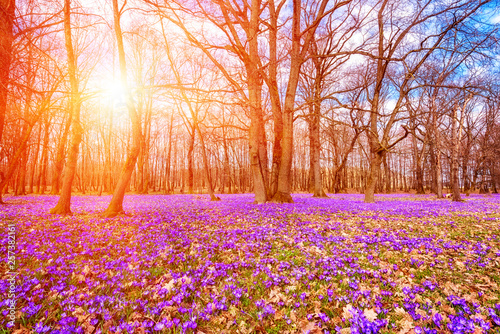 Stickers pour portes Orange eclat Beautiful flowering meadow with a wild purple crocus or saffron flowers in sunlight against an oak forest background, amazing sunny landscape, early spring in Europe