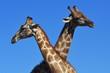Zwei Giraffenbullen (giraffa camelopardalis) kämpfen im Kgalagadi-Transfrontier-Nationalpark in Südafrika