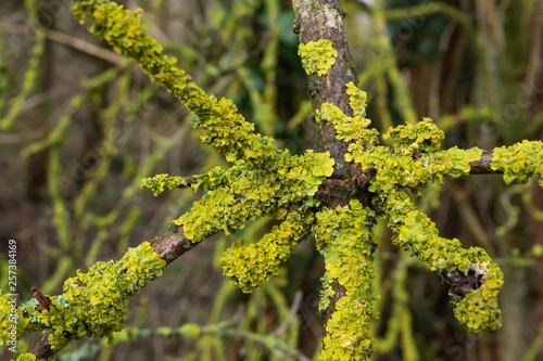 Photo Maritime Sunburst Lichen on Branch in Winter