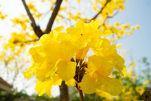 The Tree Is Full Of Golden Yellow, Commonly Known As The Golden Tree.