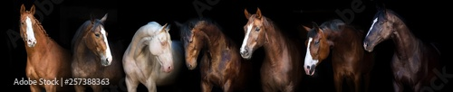Horse group portrait at black background for banner