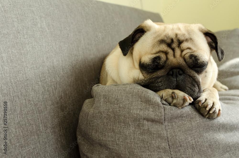 Obraz na plátně  cute dog breed pug sleeping on the sofa