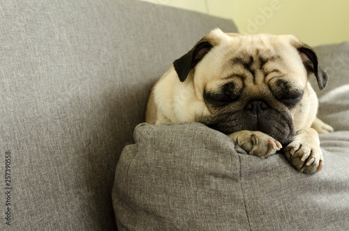 Foto  cute dog breed pug sleeping on the sofa