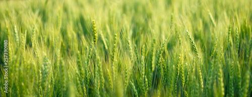 Stampa su Tela close up green barley field