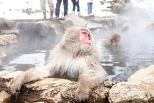 Snow Monkey (Macaca Fuscata) From Jigokudani Monkey Park In Japan, Nagano Prefecture. Cute Japanese Macaque Sitting In A Hot Spring.