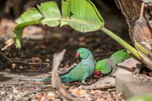 Rose-ringed Parakeet And Ring-...