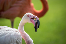 Close Up Of A Greater Flamingo.