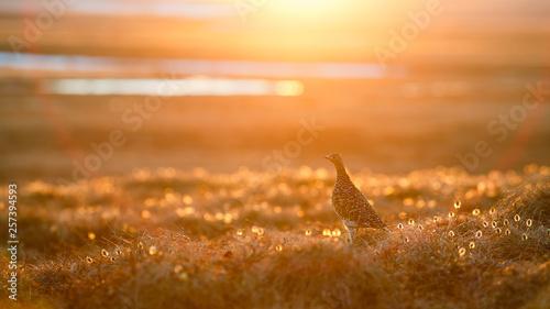 Fotografia Partridge in the tundra