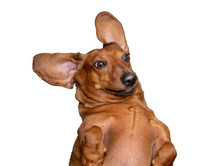 A Happy, Slightly Crazy Brown Dachshund Is Very Surprised. Big Ears Look Like A Butterfly. White Isolated Background
