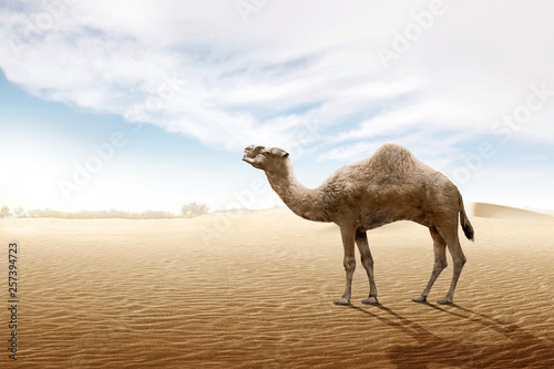 Fotografia Camel standing on the sand dune
