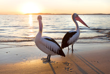 Pelicans In Nelson Bay, Austra...