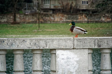 Duck Seating On Cement Handrails And Thinking About Future On The Earth, Than Says Quack Quack