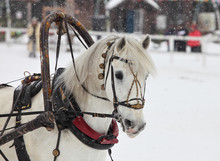 Head Of White Draught Horse With Harness In Wintertime
