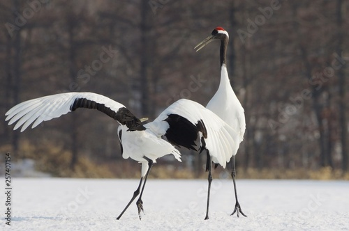 Valokuva  Japanese Crane, Red-Crowned Crane in Hokkaido, Japan