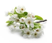 Blooming Pear Tree Flowers On ...