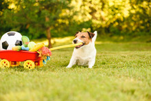 Happy Dog Stealing Hoard Of Toys And Balls In Wheelbarrow To Play In Garden