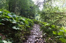Hiking Trail In Green Summer Forest With Sunshine, After Rain.