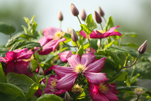 Pink Clematis Flowers In The G...
