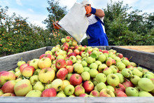 Harvesting Fresh Apples On A P...