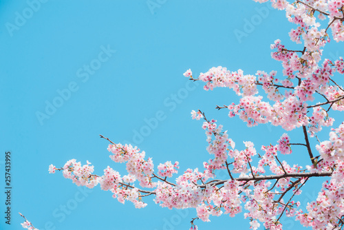 La pose en embrasure Arbre Sakura,pink cherry blossom in Japan on spring season.