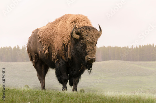 Fototapeta bison in Yellowstone Nationale Park in Wyoming