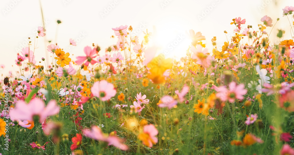 Fototapety, obrazy: beautiful cosmos flower field