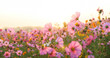 Leinwandbild Motiv beautiful cosmos flower field