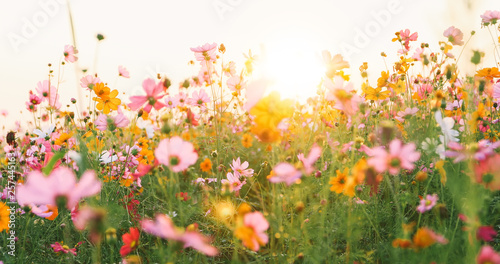 Poster Meadow beautiful cosmos flower field