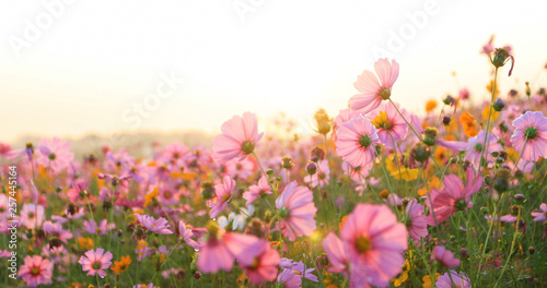 Foto auf Gartenposter Kosmos beautiful cosmos flower field