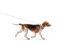 Beagle Dog Walking On A Leash