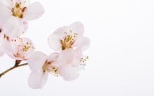 Peach Blossom Flowers. Indoor, Studio Shot