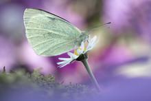 Ritratto Di Una Farfalla Cavolaia Maggiore (Pieris Brassicae)