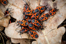 Group Of Red Wood Bugs