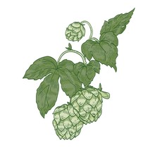Detailed Natural Realistic Drawing Of Hop Sprig. Green Flower Buds And Leaves Of Plant Cultivated For Beer Brewing Hand Drawn On White Background. Elegant Vector Illustration In Vintage Style.