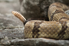 Rattlesnake Pit Viper Bang Poisonous Dangerous Harmful Look Out Stay Away Beer Run Scales Eyes