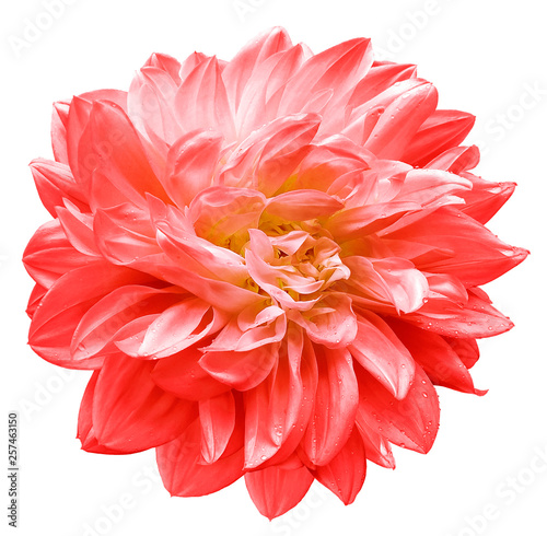 Cadres-photo bureau Dahlia red flower dahlia on white isolated background with clipping path. Closeup. For design. Nature.