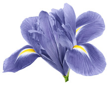 Light Blue Iris Flower, White Isolated Background With Clipping Path.   Closeup.  No Shadows.   For Design.  Nature.