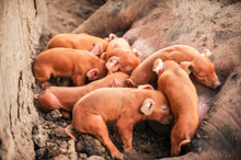 Large Red Pig Of Duroc Breed Feeds Piglets. Concept Of Happy Motherhood In Animals. Swine Farm