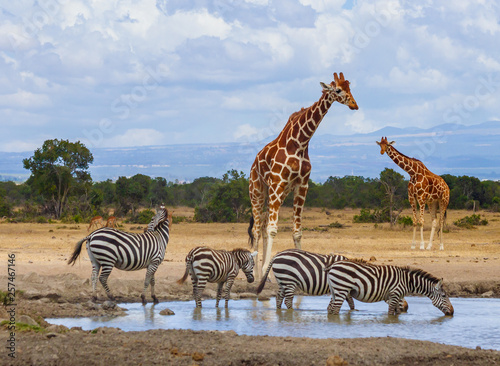 Two reticulated giraffe Giraffa camelopardalis reticulata four zebra zebras queue to drink water at waterhole Sweetwaters tented camp Ol Pejeta Conservancy Kenya East Africa - 257467146