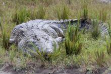 Crocodile In Murchison Falls I...