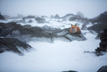 A Red Fox On The Summit Of Mt. Washington, Home Of The Mount Washington Observatory, A Private, Non-profit Scientific And Educational Institution.