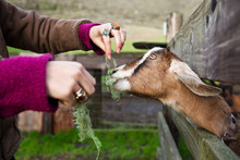 A Young Woman Feeds An Eager G...