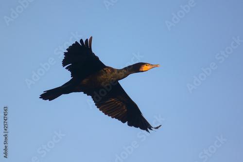 Fotografie, Tablou Cormorano (Phalacrocorax carbo) in volo su sfondo cielo blu