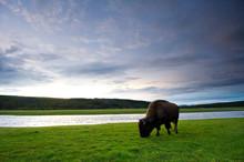 A Buffalo Grazes In A Field At...